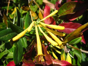 'John Clayton' honeysuckle with crossvine