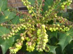 Grape holly bloom clusters.