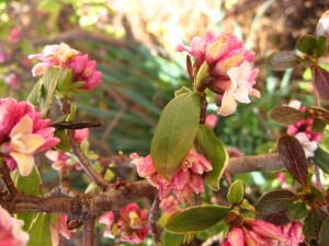 Winter daphne has the sweetest lemony blooms, better than gardenia for me.