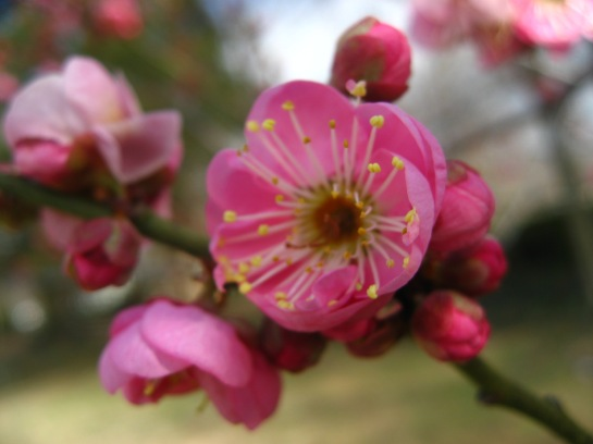 Prunus mume 'Peggy Clarke' with open blooms in late December.