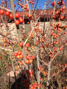 'Warren's Red' Possumhaw deciduous holy, has never had more than 4 berries until this year.
